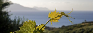 The-Greek-Wine-Experience-Kefalonia-Vineyard